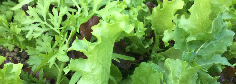 Mesclun growing in garden